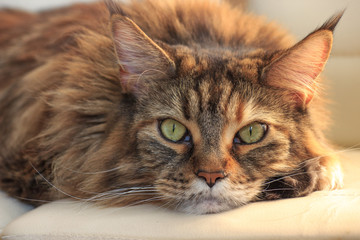 Serious sleepy main-coon cat with green eyes and multicolor fur on white background. Romantic cat in warm light