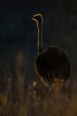 Lone male ostrich at sunset with rim lighting in grass