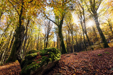 Beech forest with trees in backlight. In the foreground a stone covered with moss, dry leaves of the undergrowth. Autumn colors, branches and trunks without leaves.