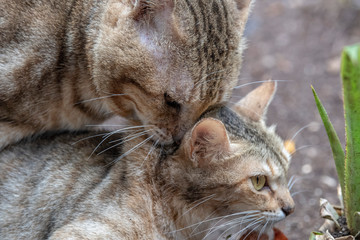 Cats mating close up