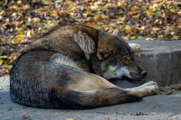 European gray wolf (Canis lupus lupus) lie and rest.