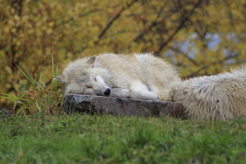 arctic wolf laying down on a rock