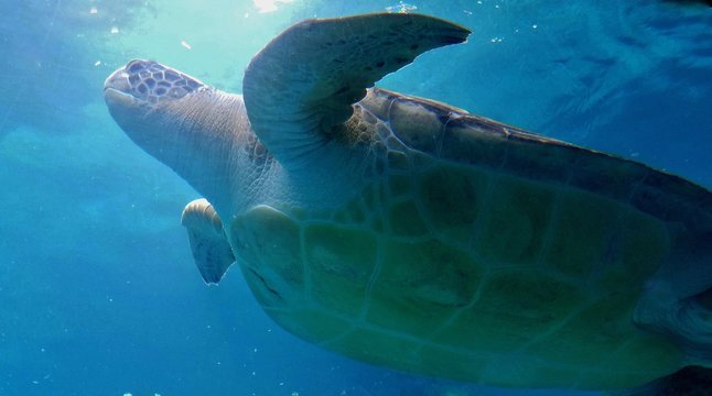 Large Sea Turtle Swimming in the Sea; View is From Underneath its Body Shell