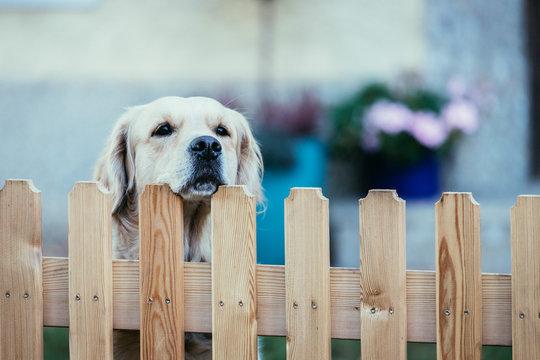 Curious dog looks over the garden fence