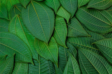 The leaves are green on a white background. creative layout made at phuket Thailand