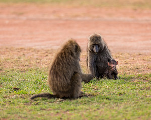 Baboon sitting with her baby at Serengeti National Park