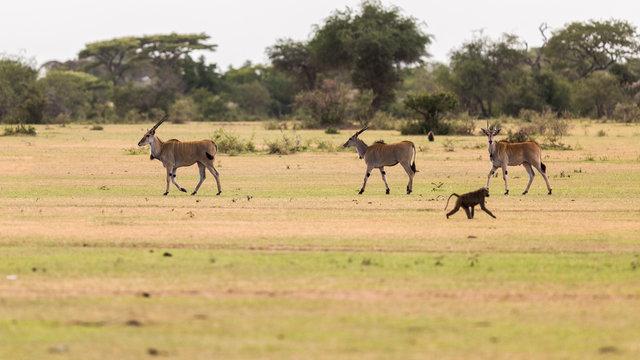 Eland and monkey walking on grassy landscape at Serengeti National Park