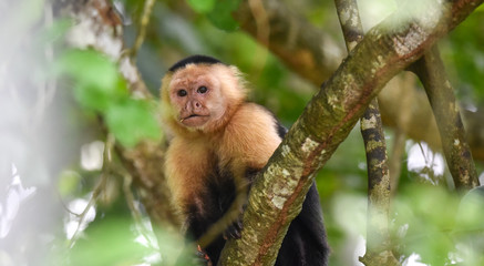 White-headed capuchin (Cebus capucinus).  Medium sized monkey of the family Cebidae subfamily Cebinae, in his native home in a jungle along the Panama Canal.