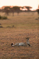 Cheetah resting at Serengeti National Park