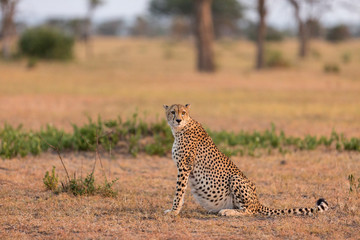 Cheetah sitting at Serengeti National Park