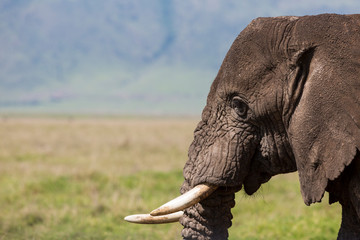 Close up of African elephant at Serengeti National Park