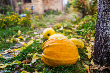 Rural yard, covered with autumn leaves. The field of ripe pumpkins placed on green grass. Concept farming.