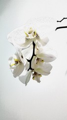 Illustration of a blooming white orchid