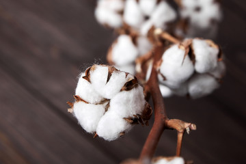 Branch of white cotton flowers on brown wooden background. Closeup