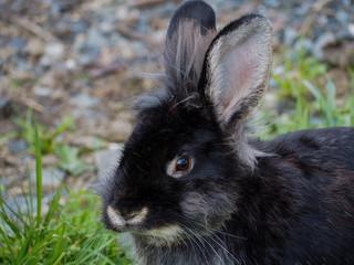 Black bunny portrait
