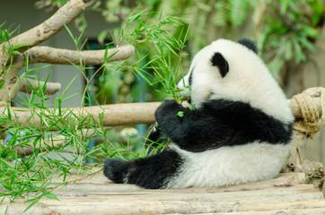 giant panda eating green bamboo leaves