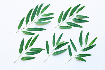 Eucalyptus leaves on white background.