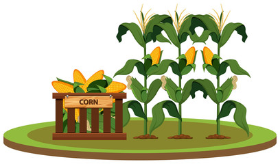Isolated organic corn farm