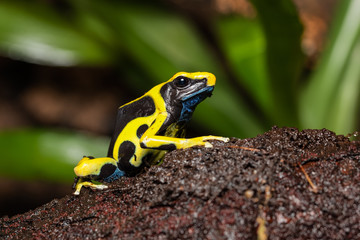 Dyeing poison dart frog on a log in the jungle