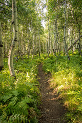 Trail Through Aspen Forest