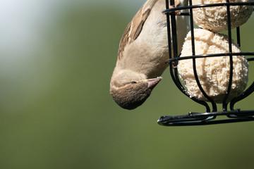 Sparrow on a feeder 10