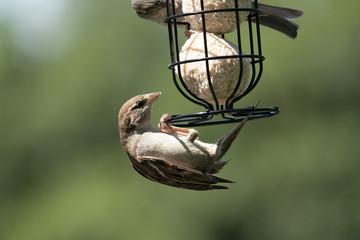 Sparrow on a feeder 9