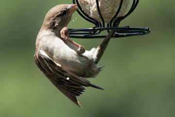 Sparrow on a feeder 6