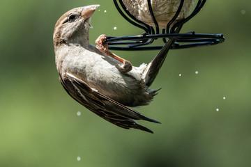 Sparrow on a feeder 5