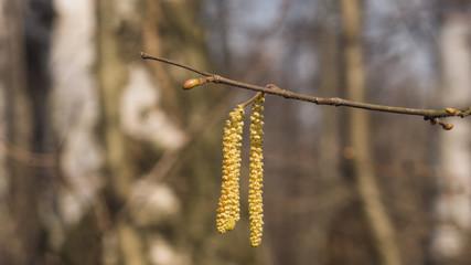 Hazelnut catkins on branch macro with bokeh background, selective focus, shallow DOF