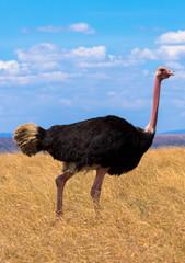 Vogelstrauß im Wüstengras