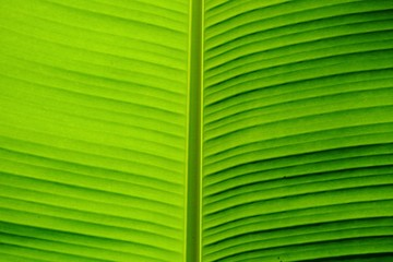 Close up a vein pattern of green banana leaves for background texture