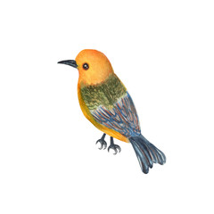 Bird isolated on white background . Bird Hand painted Watercolor illustrations.
