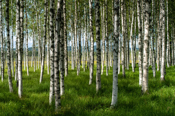 Beautiful summer view of a hurst of birch trees with green grass forest floor