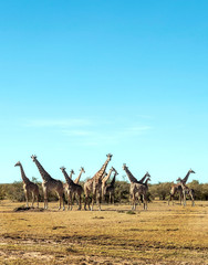 Giraffes in the prairies with acacias from Kenya on a cloudy day