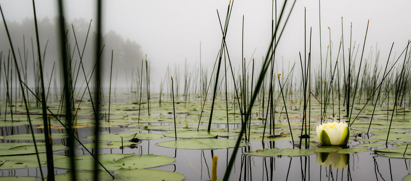 Lilly pads and reeds on a calm foggy lake in northern Wisconsin