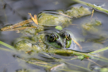 Frog swims in lake