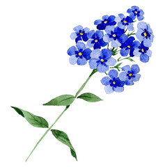 Blue phlox flowers with green leaves. Isolated phlox illustration element. Watercolor background illustration set.