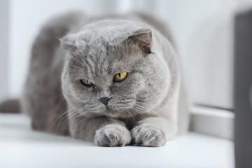 close-up shot of scottish fold cat lying on windowsill at home