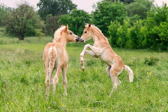 Two Haflinger foals playing and rearing in a meadow