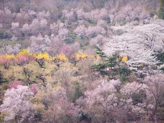 福島県 花見山の風景