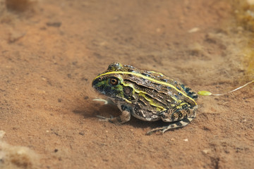 young frog Bullfrog, Namibia Africa wilderness
