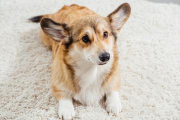 cute pembroke welsh corgi dog lying on fluffy rug