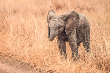Baby Elephants of Africa