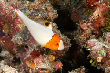 Bicolor parrotfish, juvenile ( Cetoscarus bicolor ) swimming among corals of Bali, Indonesia