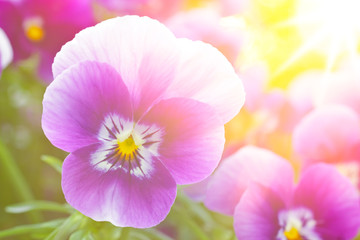 Close up of purple violet pansy flowers in beautiful spring morning sunlight, copy space, background template