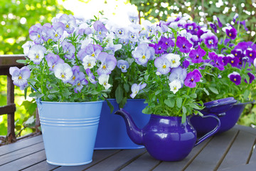 Poster Pansies Purple, blue and violet pansy flowers in 3 pots and an enameled jug on a wooden balcony table in spring, background template