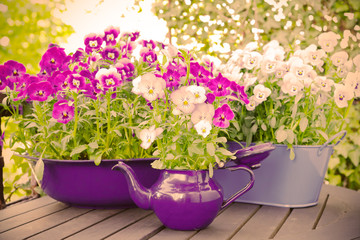 Purple, blue and violet pansy flowers in two pots and an enameled jug on a wooden balcony table in spring, vintage filter effect