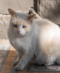 The white street cat with blue squint eyes