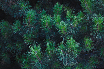 green branch of pines