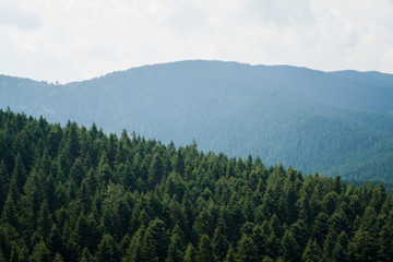 pine forest mountain